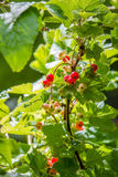 Red currants in the morning Stock Image