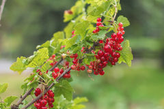 Red currants. Organic sweet ripe red currant with green leaves Stock Photography