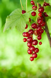 Red currants outsoors Royalty Free Stock Photo