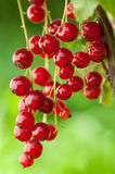Red currants outsoors Stock Image