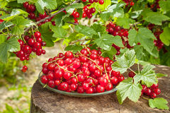 Red currants on plate and bunch with berries Stock Image