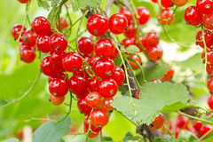 Red currants ready for harvest Royalty Free Stock Images