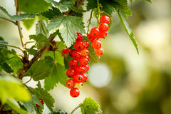 Red currants with shallow focus. In sunny day Stock Photography