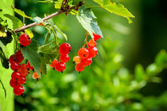 Red currants with shallow focus Royalty Free Stock Image