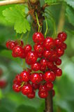 Red currants on shrub Royalty Free Stock Images