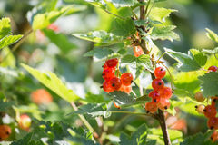 Red currants. Some ripe red currants outside Royalty Free Stock Images