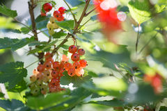 Red currants. Some ripe red currants outside Royalty Free Stock Photography