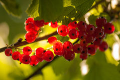 Red currants in the summer garden, sunny day. Macro sloseup shot Royalty Free Stock Photos