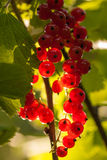 Red currants in the summer garden, sunny day. Macro sloseup vertical shot Royalty Free Stock Photos