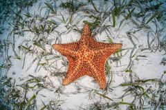 Red Cushion Sea Star. A red cushion starfish (Oreaster reticulates) lies on a seagrass meadow off the coast of Belize in the Caribbean Sea. This common tropical Royalty Free Stock Image