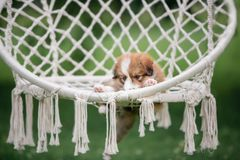 Red cute border collie puppy in a hammock royalty free stock images