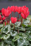 Red cyclamen. Miniature red cyclamen flowers and marbled leaves royalty free stock image