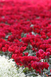 Red Cyclamen. Field of Red Cyclamen with border of white Alysum Royalty Free Stock Photos