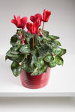 Red Cyclamen Stock Images