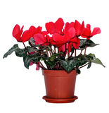 Red cyclamen in a brown flowerpot Stock Photos