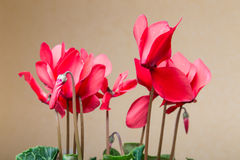 Red cyclamen Royalty Free Stock Images
