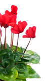 Red cyclamen flowers Stock Photography