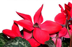 Red cyclamen Royalty Free Stock Photography