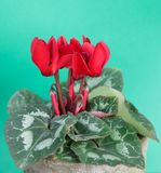 Red cyclamen persicum plant in the flowerpot on light green background with copy space. Close-up royalty free stock photos