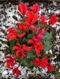 Red Cyclamen Plant Surrounded by Snow Royalty Free Stock Image