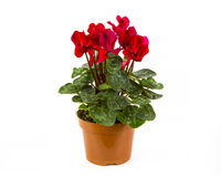 Red Cyclamen  Royalty Free Stock Photos