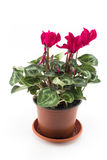 Red Cyclamen Potted on a White Background Royalty Free Stock Image