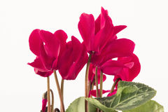 Red Cyclamen on a White Background Stock Photos