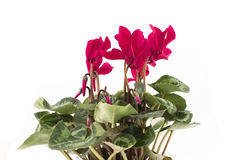 Red Cyclamen on a White Background Royalty Free Stock Images