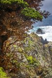 Red Cypress Tree and Rocky Coast with Ocean Surge in California. Red Cypress trees along rocky coast with surging sea beyond in California stock photos