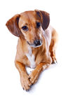 The red dachshund. Lies on a white background Stock Images