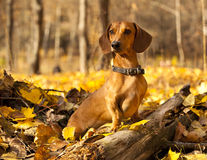 Red dachshund Royalty Free Stock Photography