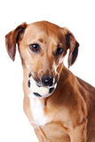Red dachshund with a ball. On a white background Royalty Free Stock Image