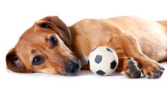 The red dachshund with a ball lies. On a white background Stock Image