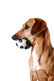 The red dachshund with a ball lies. Red dachshund with a ball on a white background Stock Images