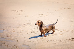 Red dachshund dog on the beach Royalty Free Stock Images