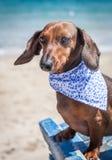 Red dachshund dog Stock Image