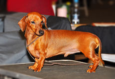 Red dachshund dog Royalty Free Stock Images