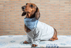 Red dachshund dog with gray shirt Royalty Free Stock Photography