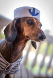 Red dachshund dog with hat Stock Image