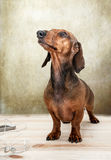 Red dachshund dog with sun glasses or bow tie scarves Royalty Free Stock Photos