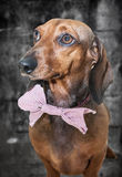 Red dachshund dog with sun glasses or bow tie scarves Royalty Free Stock Photography