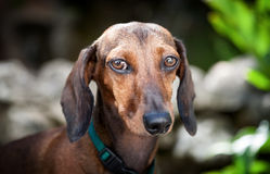 Red dachshund dog Royalty Free Stock Image