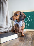 Red dachshund dog on wooden table Stock Photos