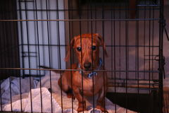Red Dachshund in Kennel Stock Photography