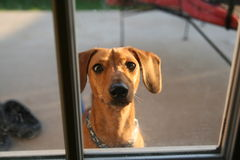 Red Dachshund Looking in Window Royalty Free Stock Photography