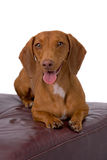 Red Dachshund Lying on Leather Stool Royalty Free Stock Photography