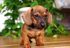 Red Dachshund Puppy on Porch Stock Photography