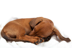 Red dachshund puppy sleeping on white background. Royalty Free Stock Photography