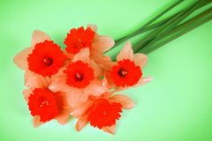 Red daffodil flowers. Red daffodil flower bouquet on green background stock photos