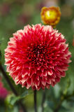 Red dahlia flower. Dahila, deep focus.Dahlia is a genus of bushy, tuberous, herbaceous perennial plants native mainly in Mexico, but also Central America, and royalty free stock images